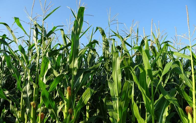 Кукуруза защитит кусты малины от жаркого солнца