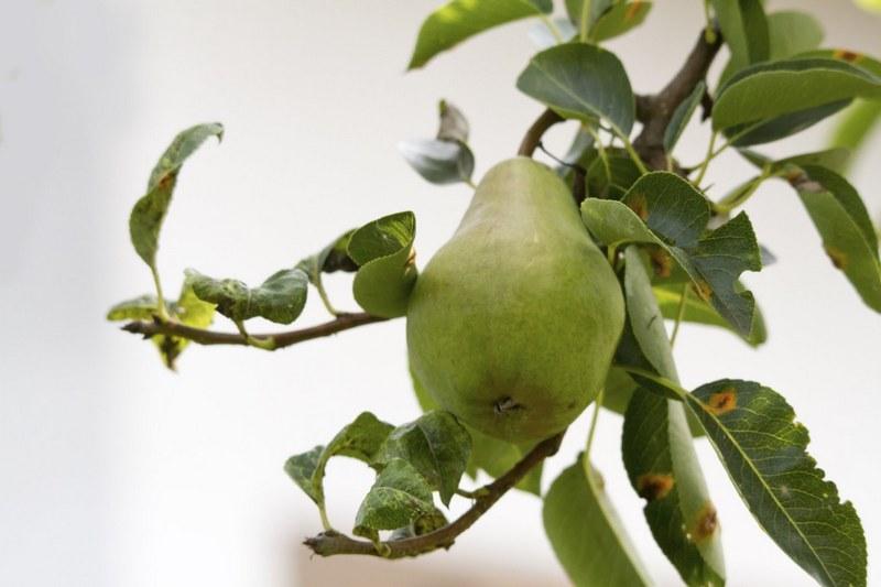 Курчавость листьев груши - частое явление, которое происходит по целому ряду причин