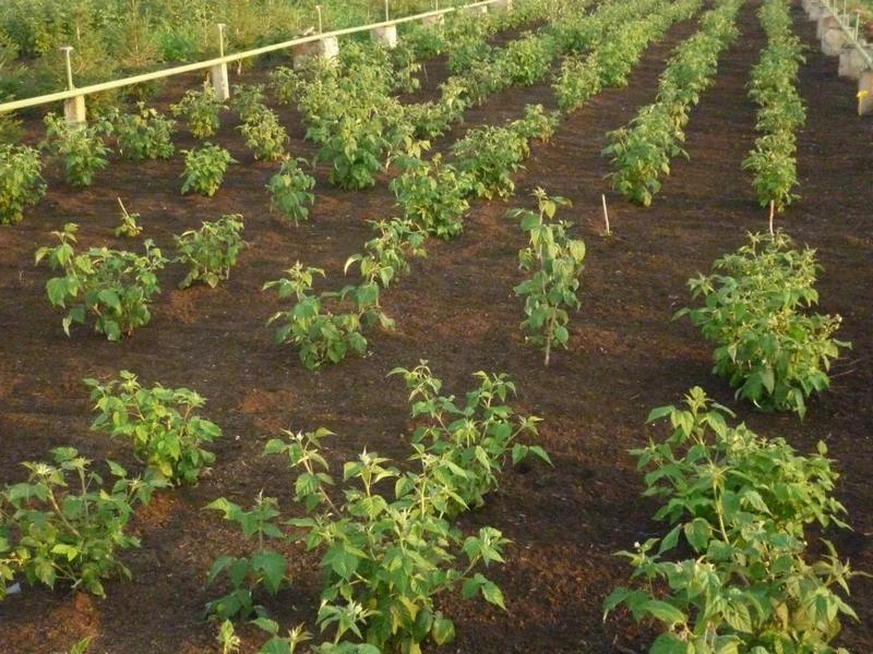 Куртинный способ характеризуется групповым выращиванием малины