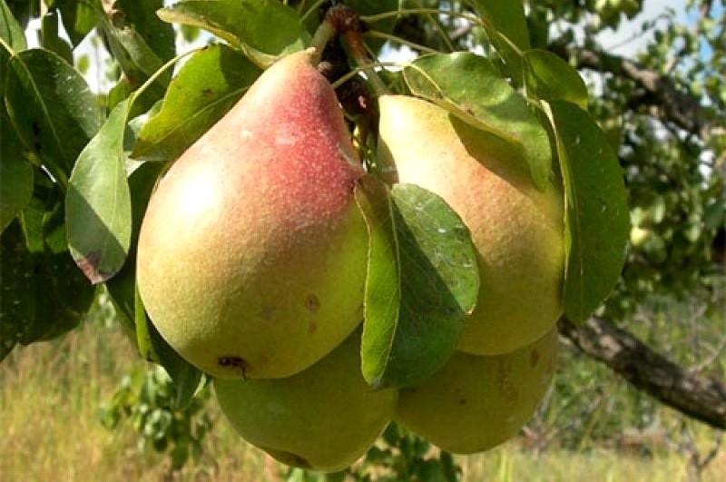 Лесная красавица знаменита своими нежными плодами и хорошей скороплодностью