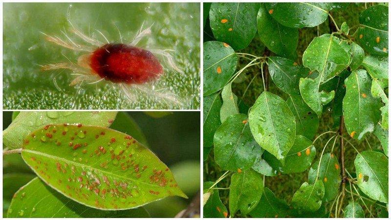Листовая галлица - вредитель грушевого дерева