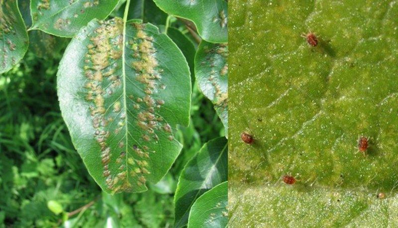 Листья груши, пораженные клещем