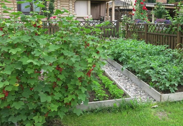 Лучшими предшественниками ягодника станут овощные культуры, крыжовник, смородина, арония