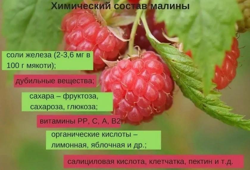 Малина – источник аскорбиновой кислоты