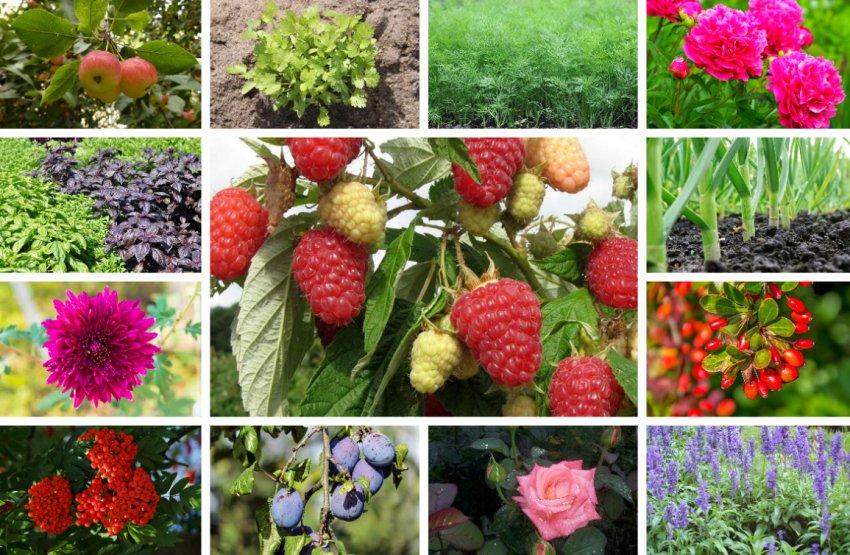 Малина не слишком прихотлива и с большинством растений соседствует хорошо