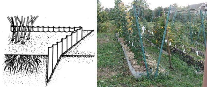 Метод посадки предполагает высадку саженцев, напоминающую равнобедренный треугольник