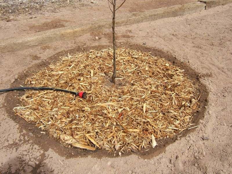 Мульчирование саженца необходимо для сохранения питательных веществ и влаги в почве