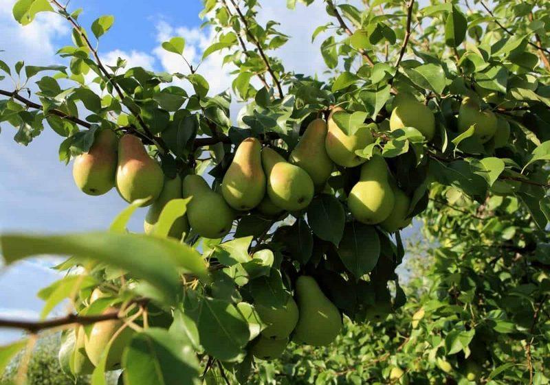 На Кубани выращивают разнообразные сорта груш, приспособленных к местному климату