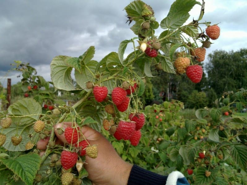 На однолетних побегах первый урожай созревает в конце лета-осенью