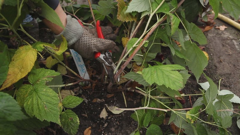 Обрезка старой малины поможет увеличить урожайность