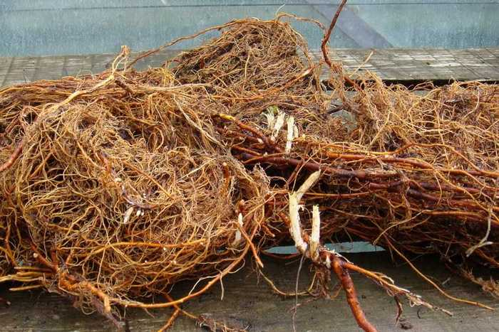 Основные корни малины располагаются на глубине от 1,5 до 2 м