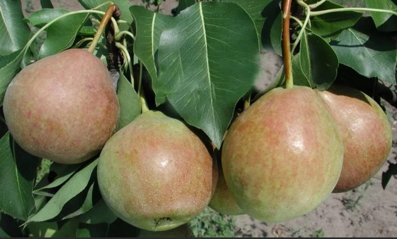 Основными преимуществами сорта являются урожайность и отличные вкусовые характеристики