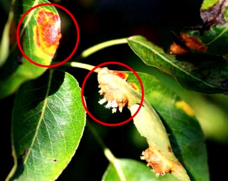 Парша — распространенное грибковое заболевание груши
