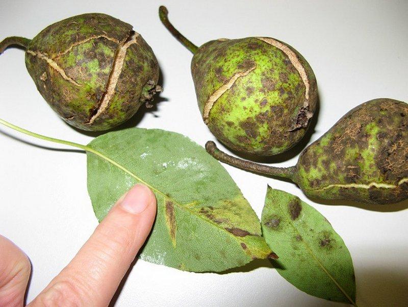 Парша плодов груши