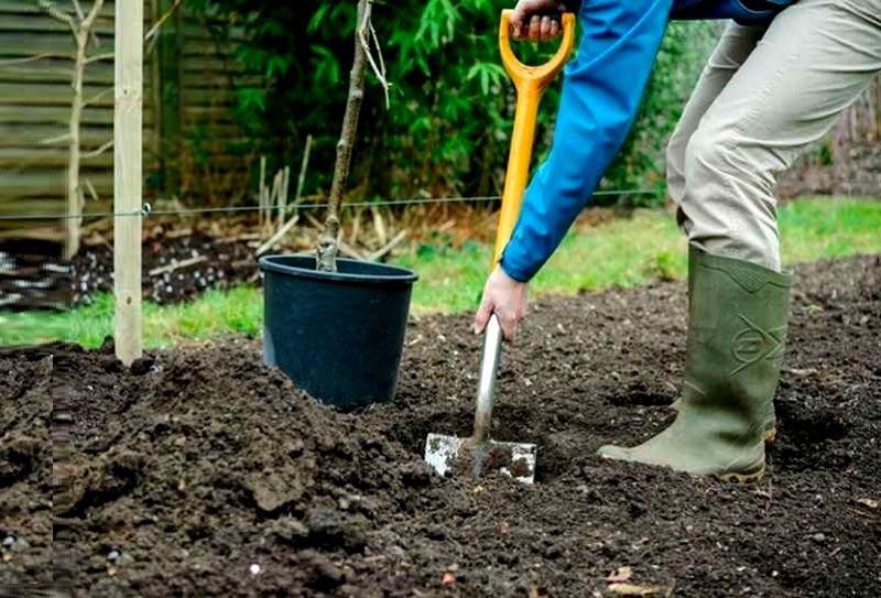 Перед посадкой саженцев груши почву на садовом участке следует перекопать