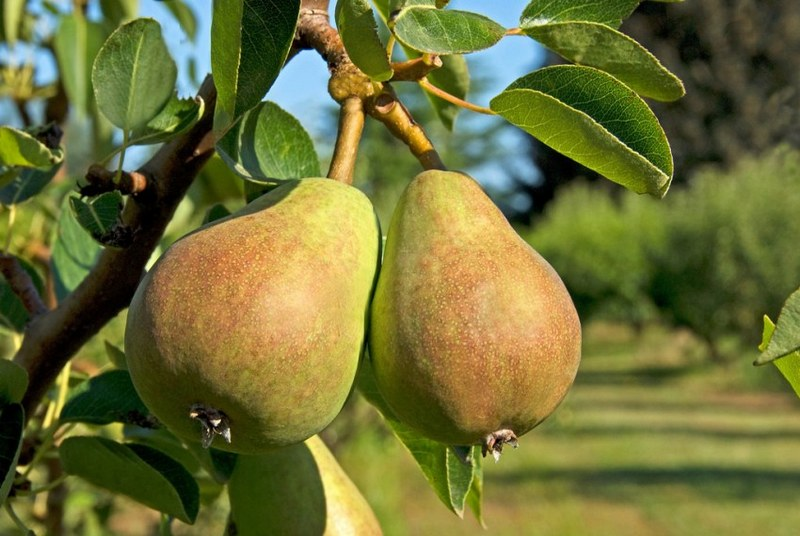 Плоды груш сорта Соната обладают превосходным вкусом