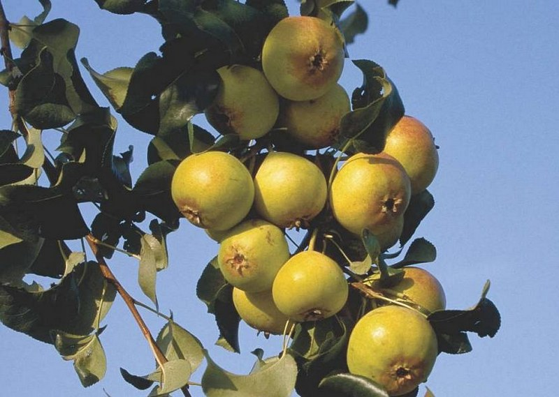 Плоды груши Бич Хилл не пригодны для употребления в пищу