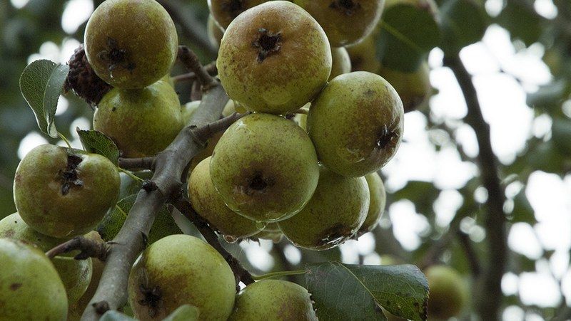 Плоды груши Кальера Шантиклер