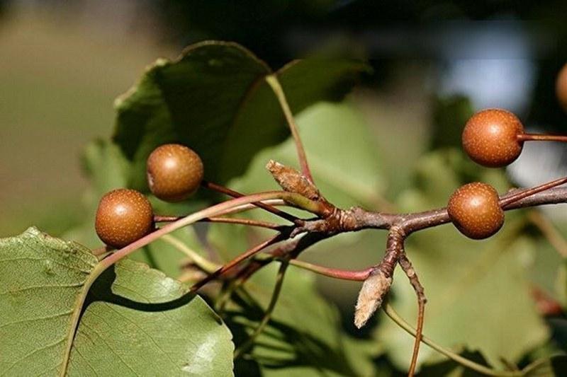 Плоды груши Каллери Брэдфорд