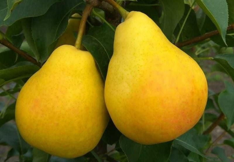 Плоды груши имеют сочную, нежную и ароматную мякоть