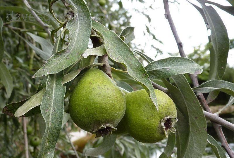Плоды изволистной груши