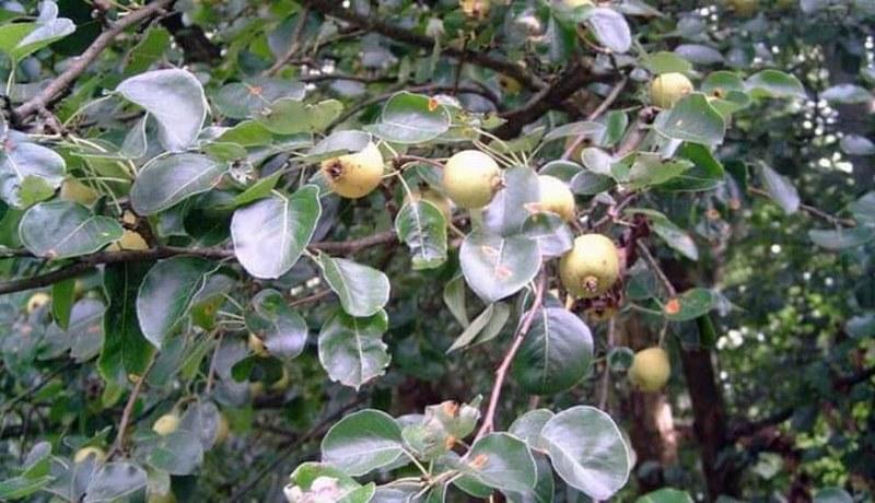 Несмотря на небольшой размер, плоды кавказской декоративной груши являются съедобными