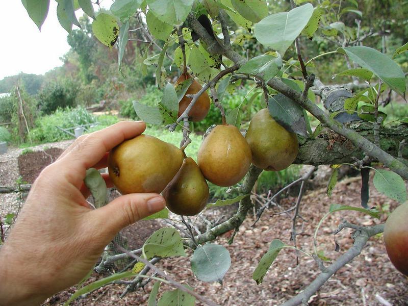 Плоды следует снимать с дерева аккуратно