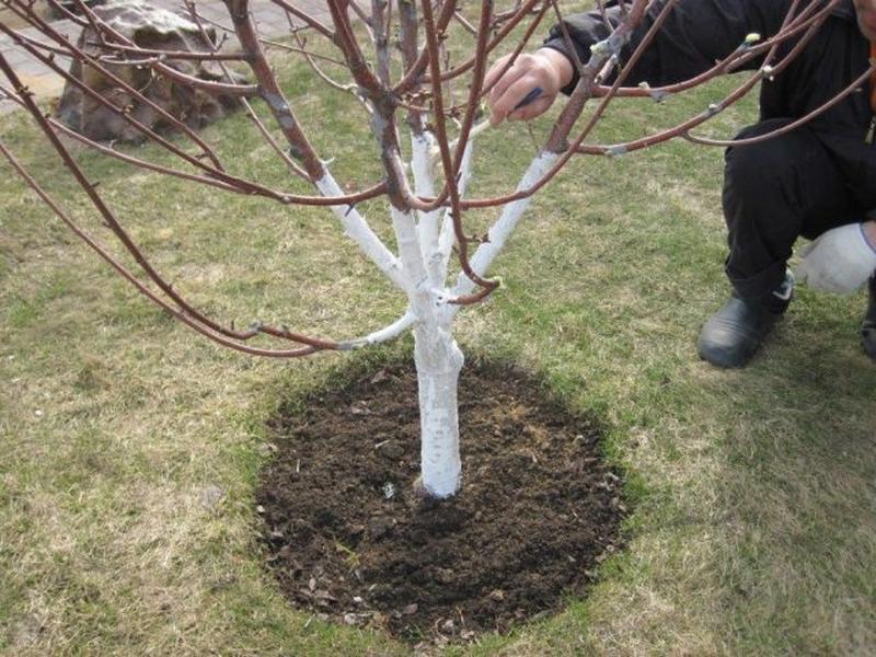 Побелка дерева необходима для защиты коры от вредителей и перепадов температур