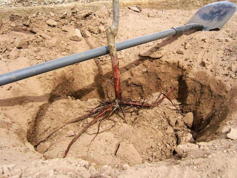 Подготавливать почву нужно за 2-3 недели до посадки