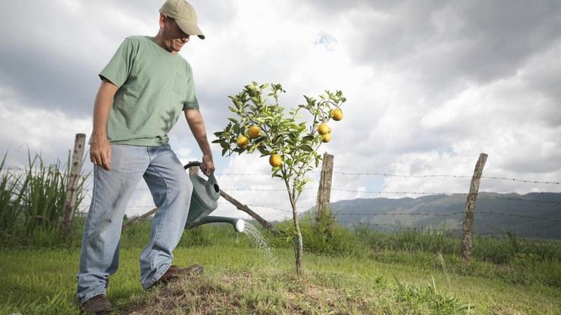 Полив груши осуществляется весной и осенью