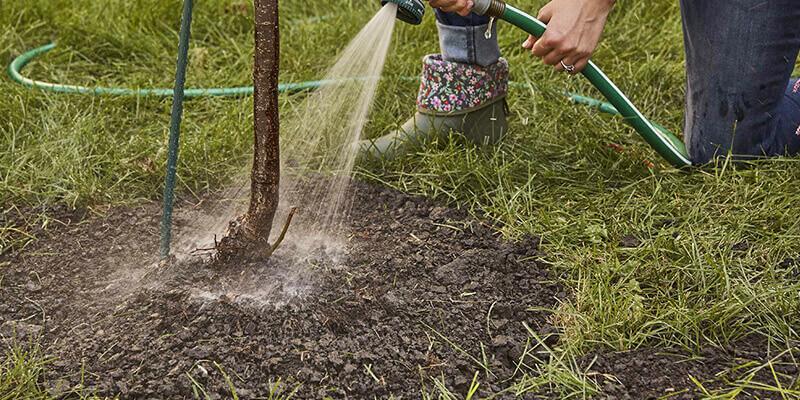 Поливать грушу следует по мере подсыхания почвы