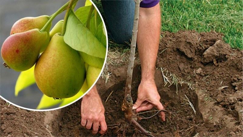 Посадка – один из важнейших этапов выращивания груш