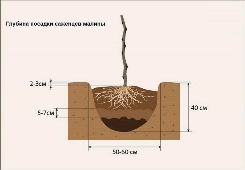Важно соблюдать глубину посадки саженцев малины
