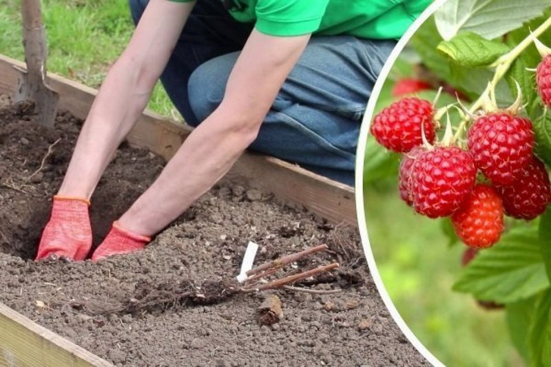 Посадку ремонтантной малины следует проводить только в плодородную почву
