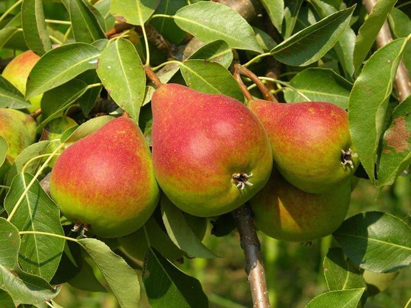 При поспевании плоды осыпаются, поэтому желательно их собирать зелеными