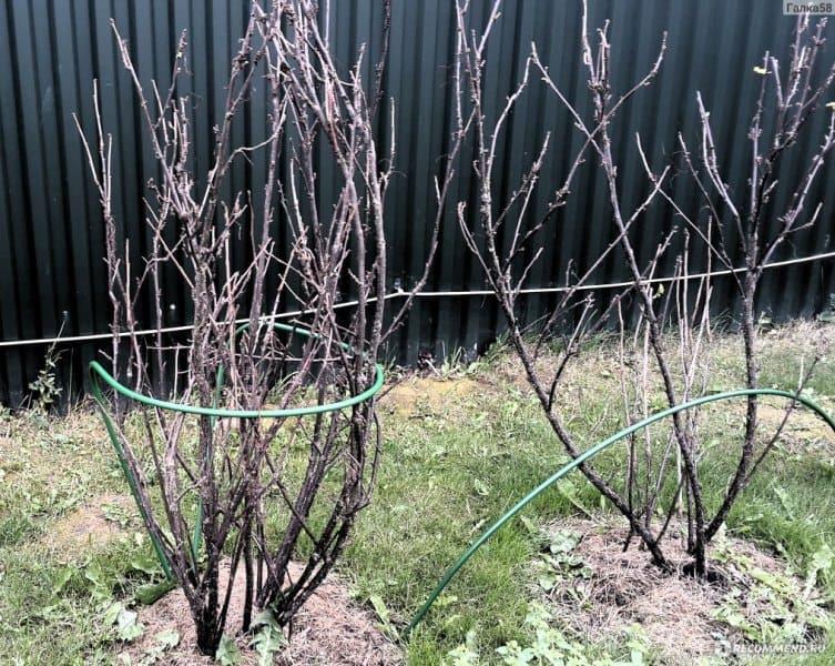 При появлении первых ростков малины устанавливают дуги