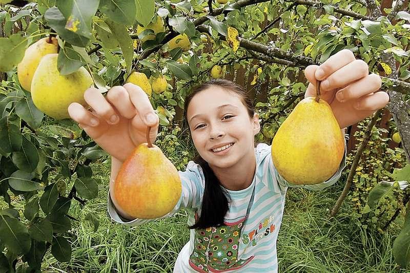 Приступить к сбору урожая груш можно с середины сентября