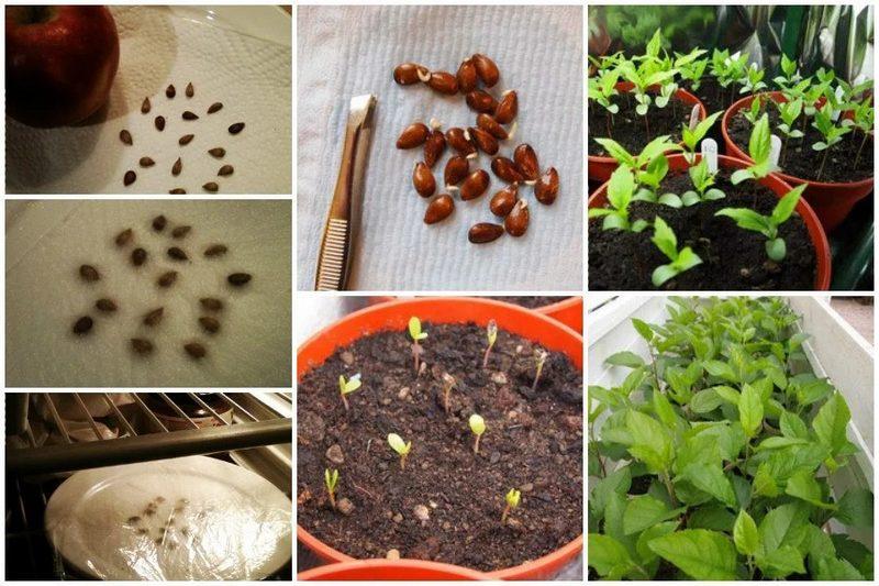 Процесс проращивания семян груши в домашних условиях