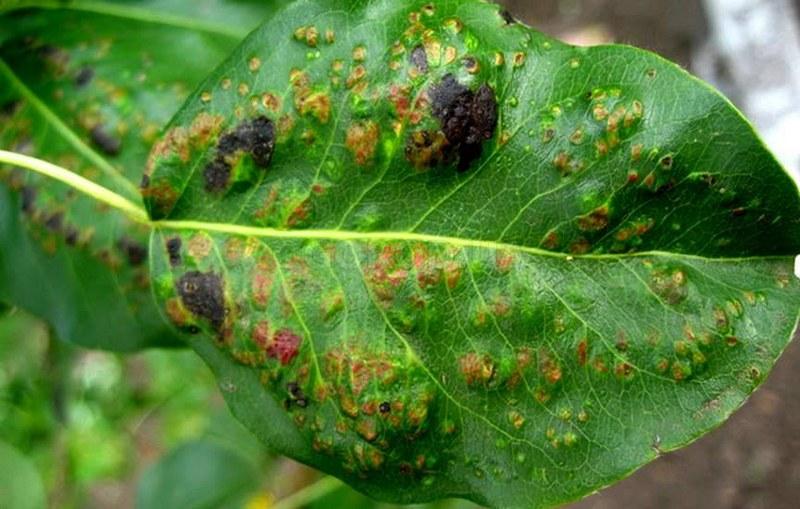 Бурая пятнистость на листьях груши - опасное грибковое заболевание