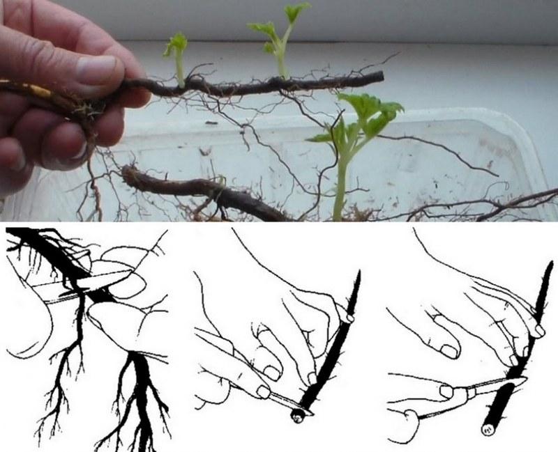 Размножение ремонтантной малины корневыми черенками