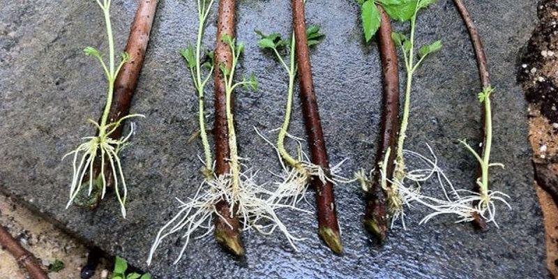 Разведение малины стеблевыми черенками - это один из самых простых способов размножения