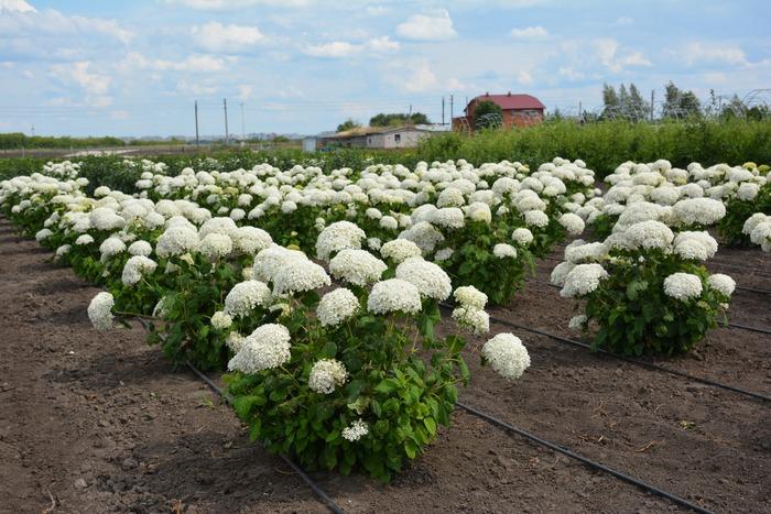 Розы и гортензии прекрасно восстанавливают кислотность почвы