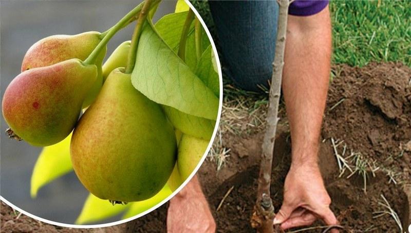 Саженец дает первый урожай через 4-5 лет