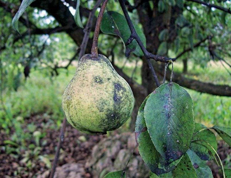 Сажистый грибок на плодах и листьях