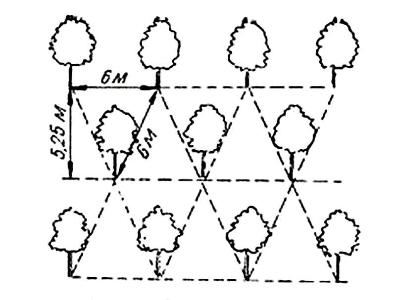 Схема посадки плодовых деревьев в шахматном порядке