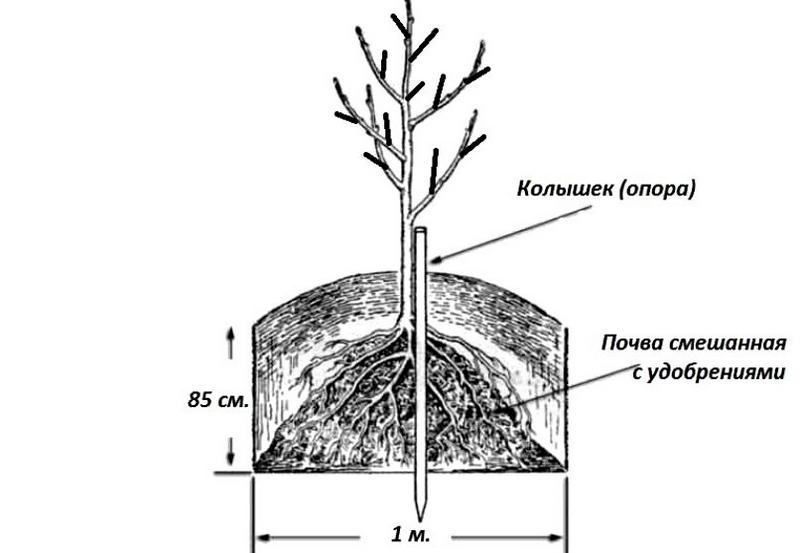 Схема посадки саженца груши в открытый грунт