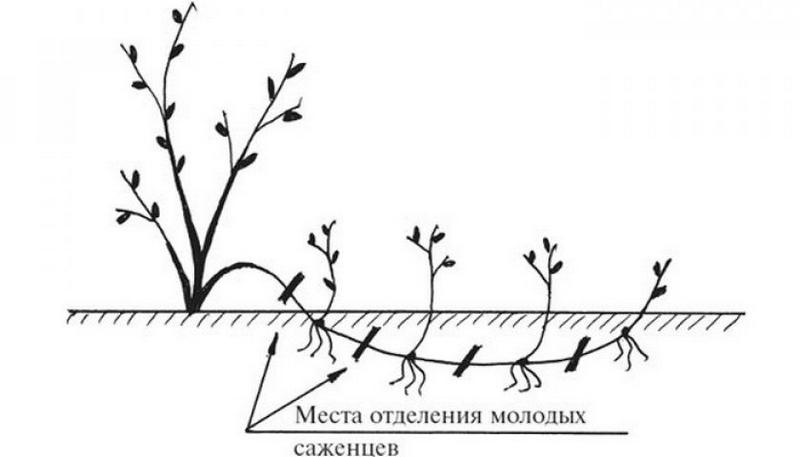Схема размножения малины горизонтальными отводками