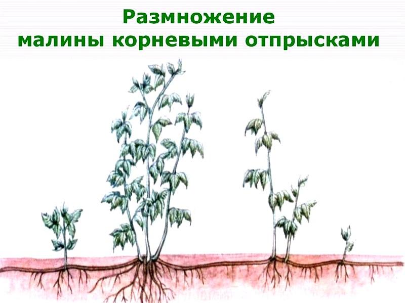 Размножение растения корневыми отпрысками - самый популярный способ разведения малины