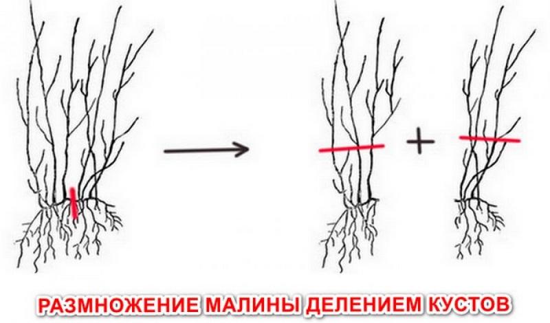 Схема размножения ремонтантной малины делением кустов