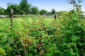 Соблюдение севооборота малины обеспечит богатый урожай ягоды